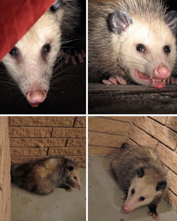 Opossum_quartet