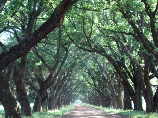 Evergreen_plantation_3